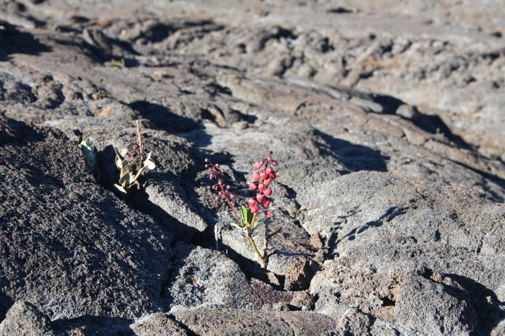Surgissement de la vie dans une coulée volcanique à La Réunion