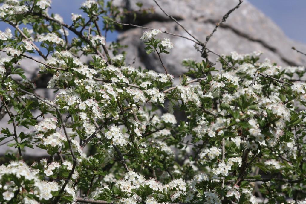 La flore du Torcal