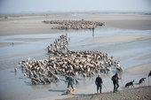 Transhumance en Baie de Somme. Photo Ministère de l'Agriculture