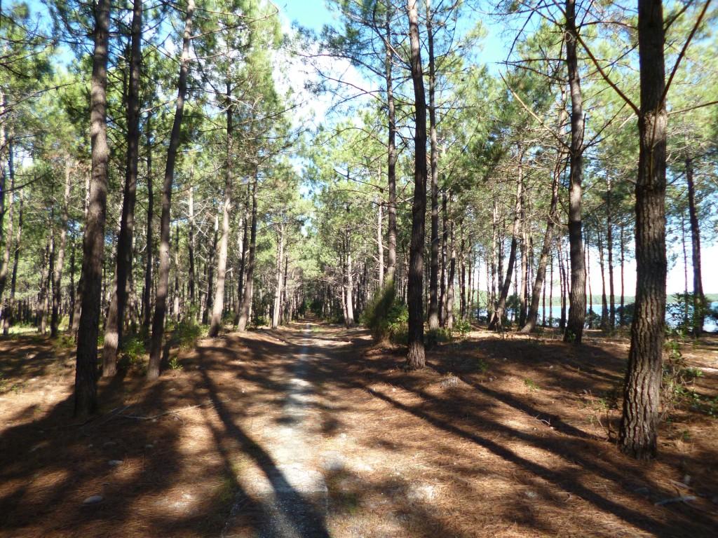 Forêt de pins maritimes au bord du lac de Carcans - Hourtin